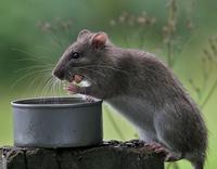 Rat1_m