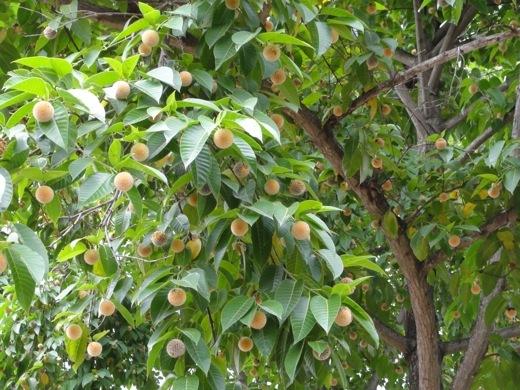 kadamba_tree